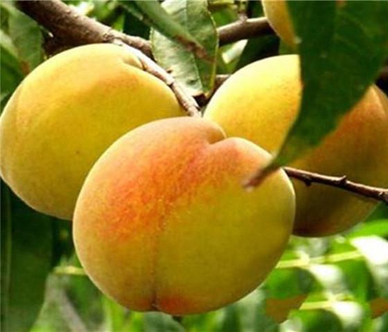 油桃树苗售价多少钱油桃树苗的培育方法