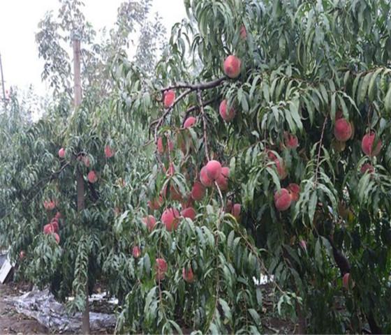 油桃树苗多少钱油桃树苗种植技术