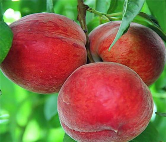 油桃树苗基地油桃树苗价格实在免费咨询
