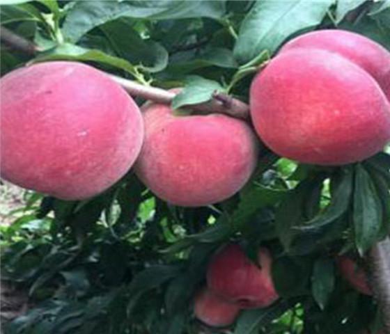 晚熟脆甜毛桃树苗多少钱一棵