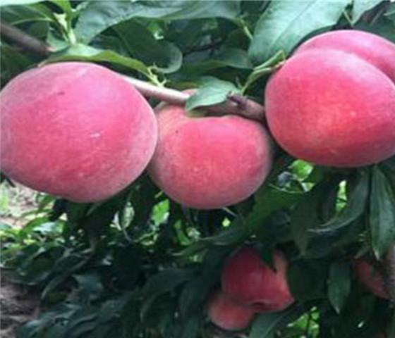 油桃树苗价格油桃树苗一亩地种多少棵