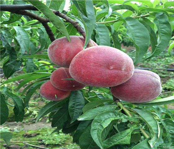 蟠桃树苗售价多少钱蟠桃树苗几年才能结果