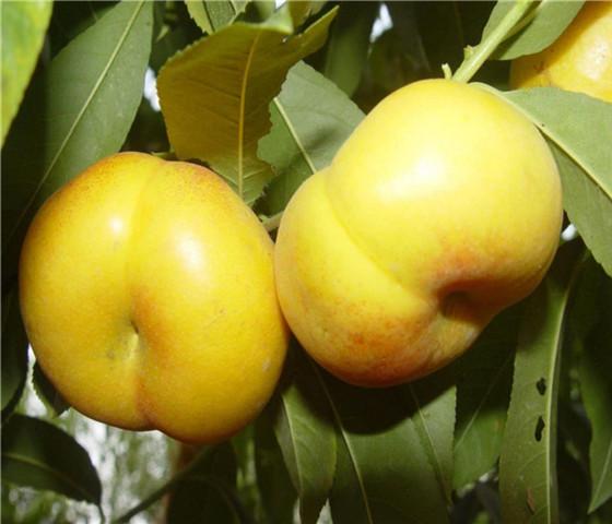 油桃树苗价格报价油桃树苗哪个品种好