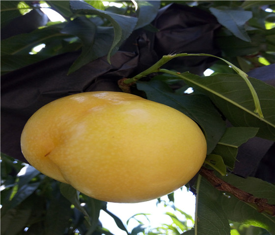 油蟠桃树苗批发价格油蟠桃树苗种植技术