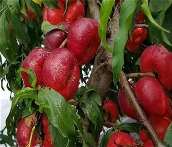 油蟠桃树苗价格报价油蟠桃树苗全国快递物流发货