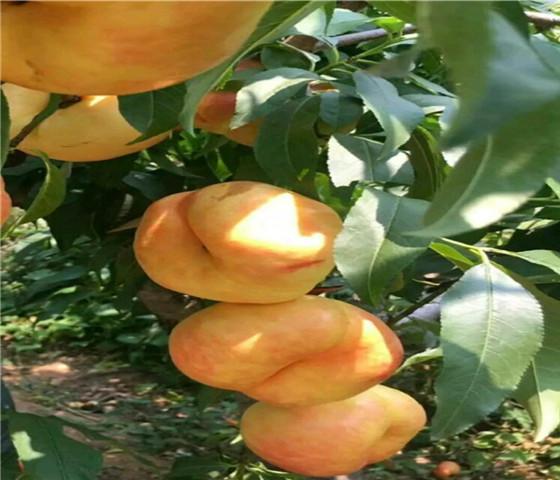 油蟠桃树苗基地油蟠桃树苗产地直销保证成活率