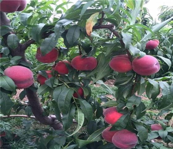 油桃树苗多少钱油桃树苗10元一颗