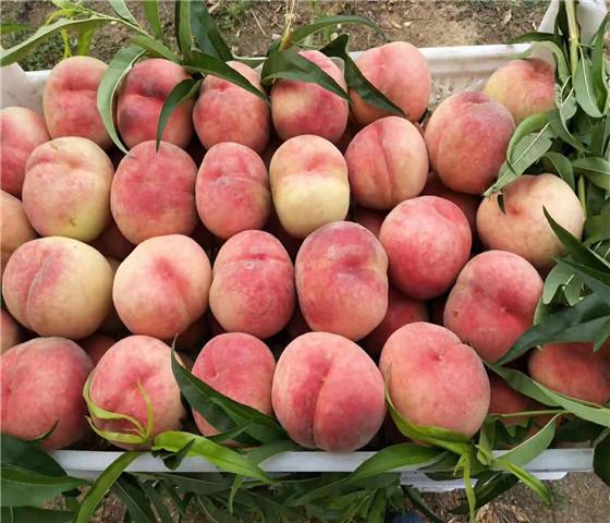 黄桃树苗价格报价黄桃树苗专注专业客户至上