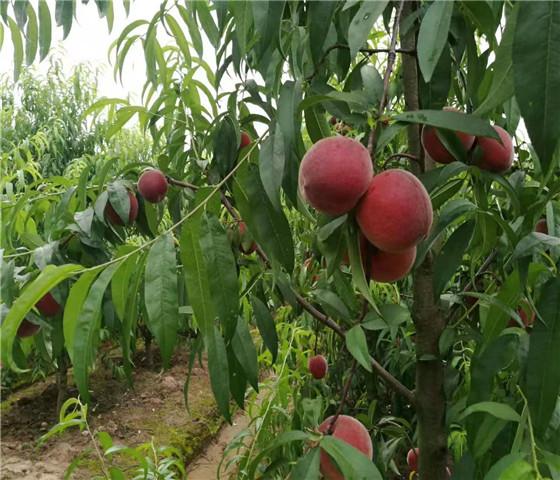 油桃树苗批发价格油桃树苗什么时间移栽