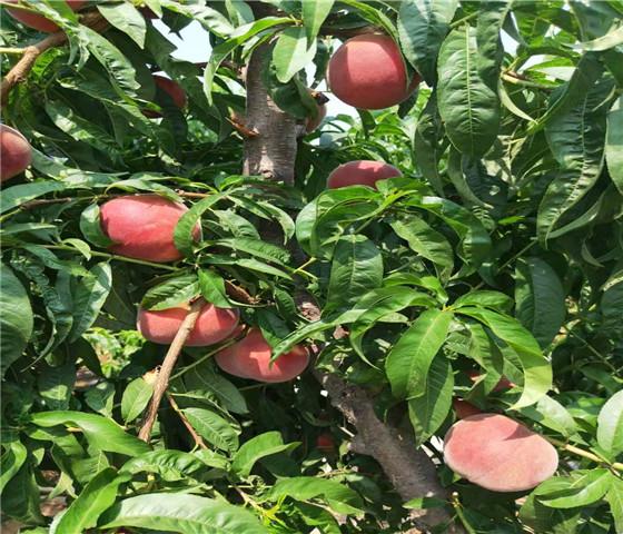 蟠桃树苗价格行情蟠桃树苗坐果早产量高