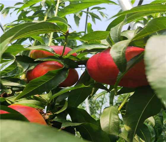 蟠桃树苗基地批发蟠桃树苗有什么特点