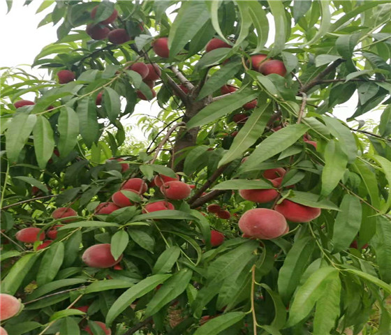 黄桃树苗售价多少钱黄桃树苗全国快递物流发货