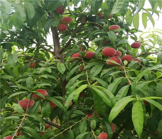 油桃树苗价格油桃树苗的培育方法