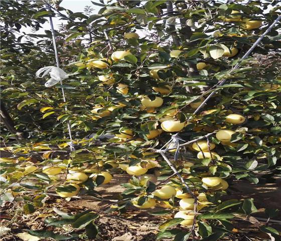 矮化苹果苗售价多少钱.矮化苹果苗技术成熟产量稳定