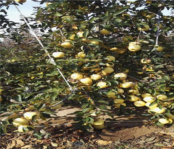矮化苹果苗基地价格.矮化苹果苗什么时间移栽
