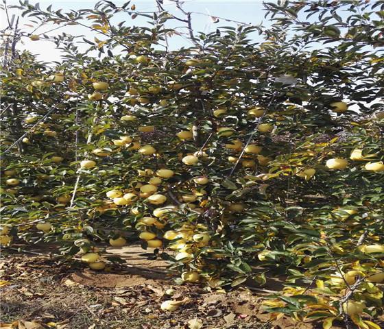 矮化苹果苗基地价格.矮化苹果苗坐果早产量高