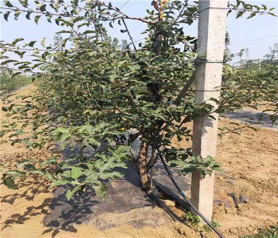 矮化苹果苗价格.矮化苹果苗怎么培育