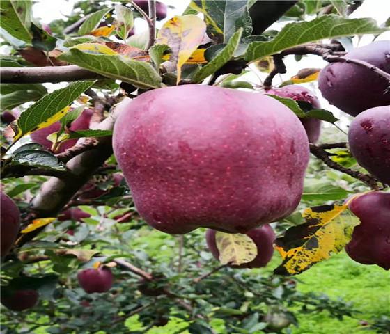 苹果苗新品种.苹果苗怎么样