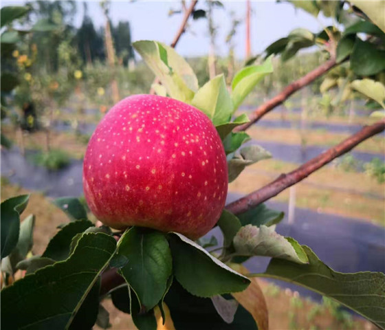 苹果苗基地批发.苹果苗全国均可发货