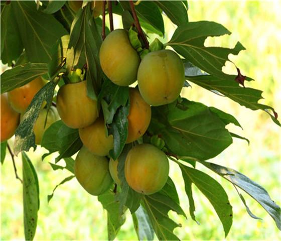 黑甜柿子苗价格报价黑甜柿子苗怎么分辨真假