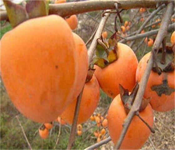 甜柿子苗售价多少钱甜柿子苗什么时间移栽