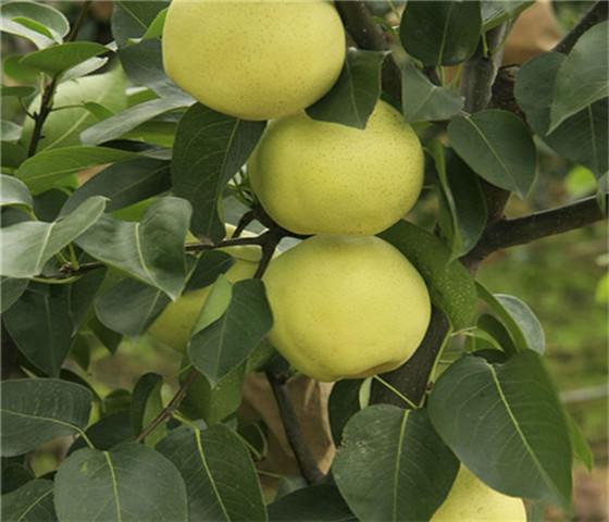 甜柿子苗多少钱一棵甜柿子苗品种全国均可发货