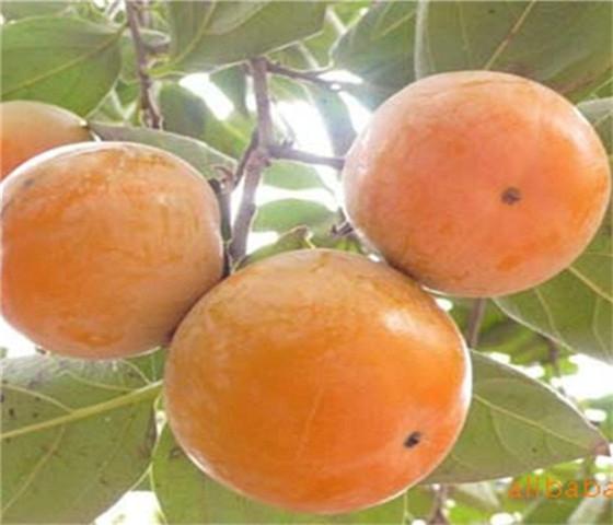 甜柿子苗基地价格价格优惠以质取胜