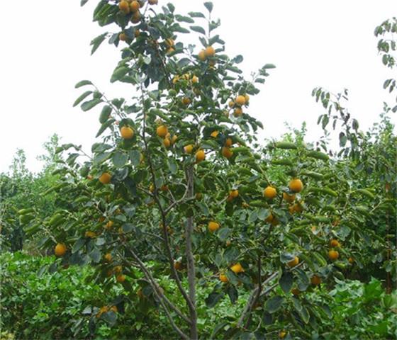 甜柿子苗价格报价甜柿子苗基地直接发货