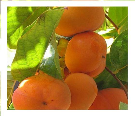 黑甜柿子苗批发价格黑甜柿子苗专注专业客户至上