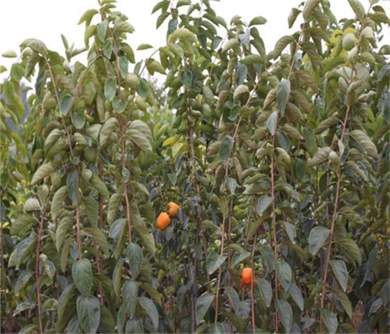 甜柿子苗基地产地一手货源