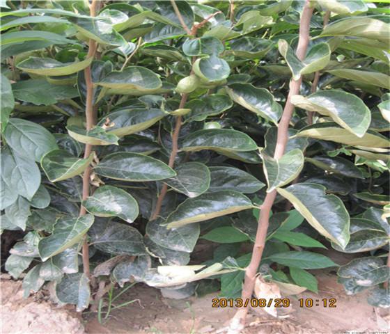黑甜柿子苗批发价格黑甜柿子苗免费提供样品
