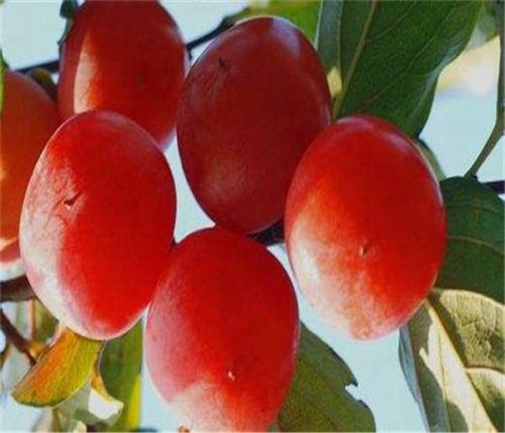 黑甜柿子苗基地价格黑甜柿子苗产地货源价格优惠