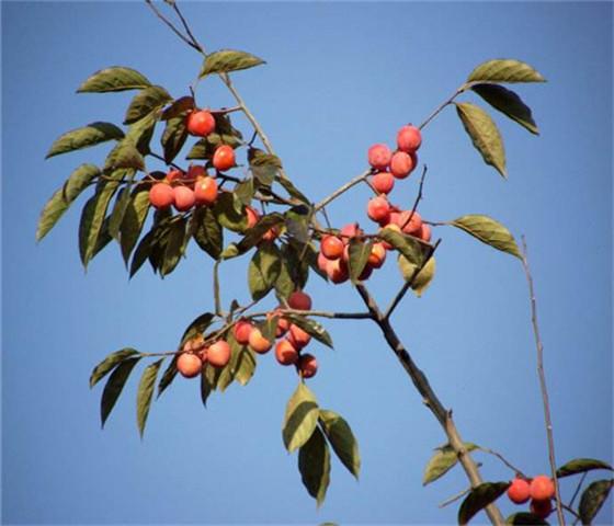 甜柿子苗价格表甜柿子苗坐果早产量高