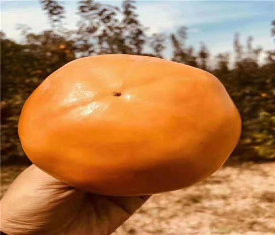 甜柿子苗售价多少钱亩栽多少棵