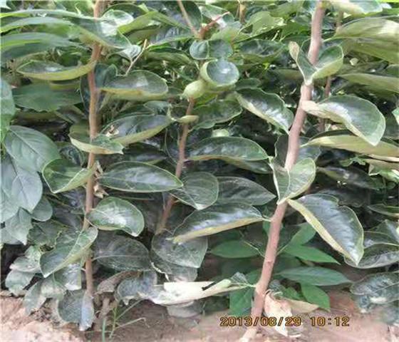 甜柿子苗价格行情规模种植品质保证