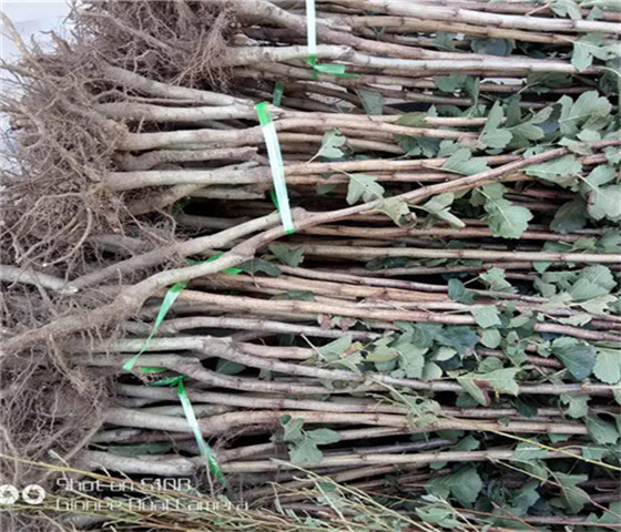 大五楞山楂苗价格报价大五楞山楂苗技术成熟产量稳定