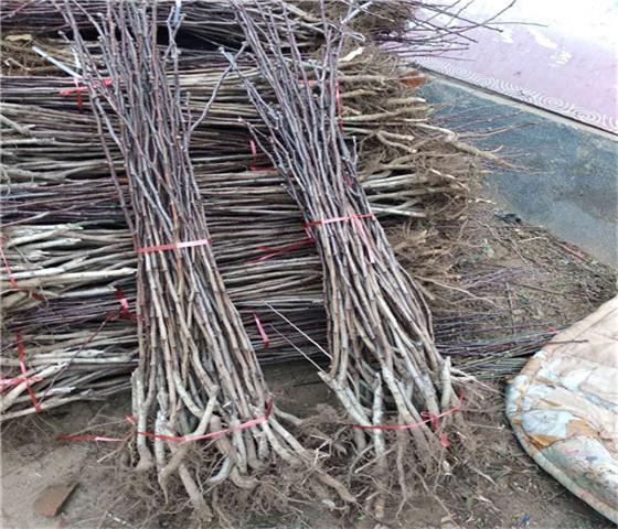 甜红子山楂苗价格行情甜红子山楂苗品种全国均可发货
