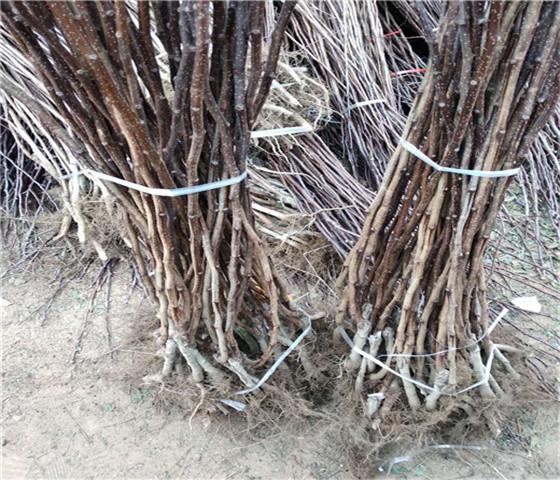 大棉球山楂苗价格行情大棉球山楂苗一亩地种多少棵