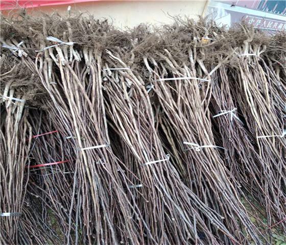 大棉球山楂苗基地大棉球山楂苗技术成熟产量稳定