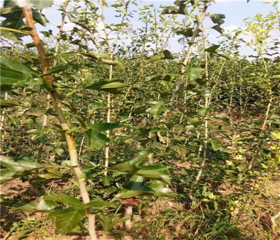 大金星山楂苗新品种大金星山楂苗坐果早产量高
