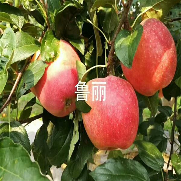 矮化冰糖心苹果苗报价