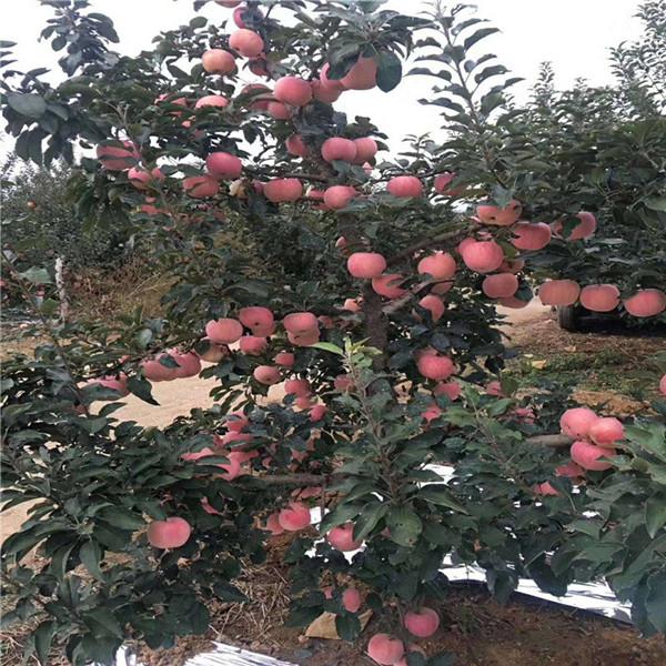 矮化瑞雪苹果苗价格公示