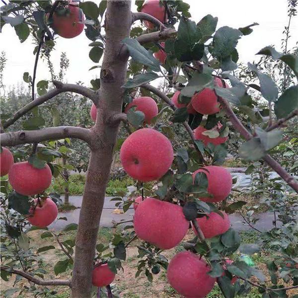 矮化苹果苗上车价格