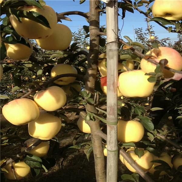 矮化中秋王苹果苗货源地