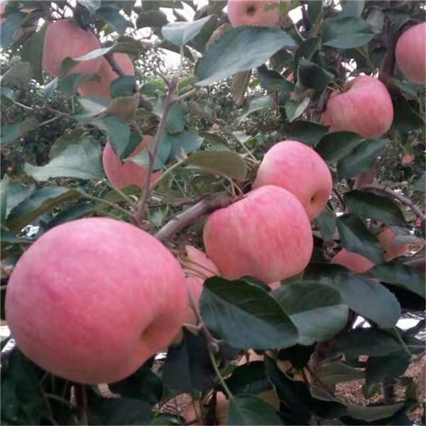 矮化苹果苗价格公示