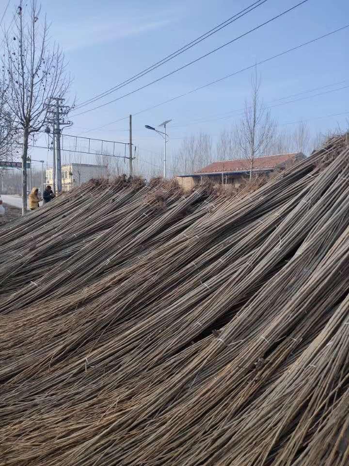 漯河一年生107杨树苗批发价格