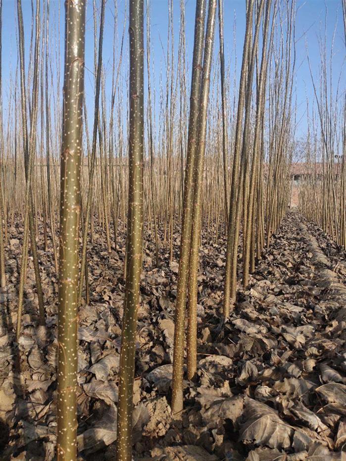德州一年生107杨树苗批发价格