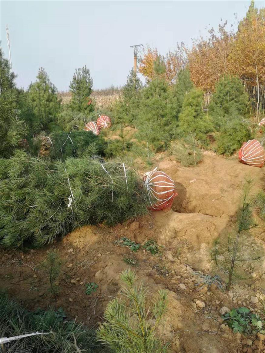 陕西1.5米华山松种植