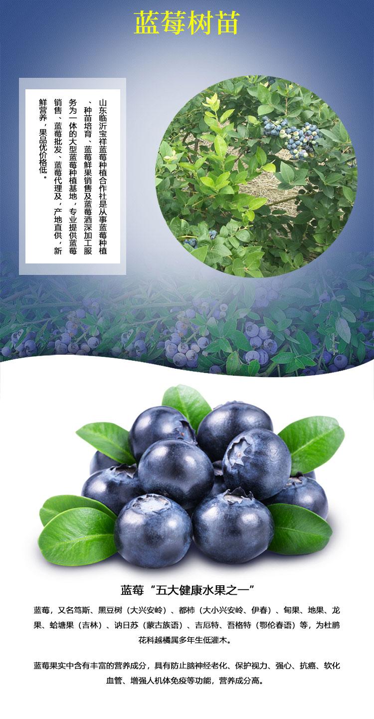 蓝莓苗基地  蓝丰蓝莓苗基地