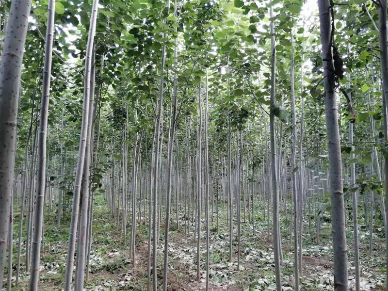 毛白杨树基地